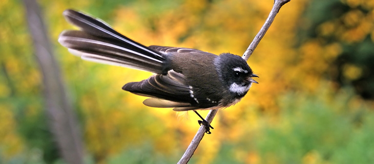 island-conservation-preventing-extinctions-nesting-fantails-rare-birds-feat