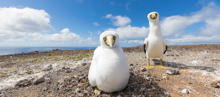 genetic-biocontrol-invasive-rodents-gbird-island-conservation-san-ambrosio-masked-booby-feat