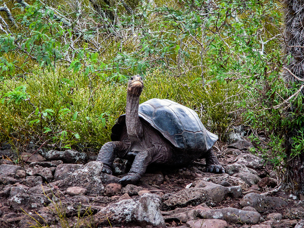 island-conservation-invasive-species-preventing-extinctions-Galápagos-giant-tortoise
