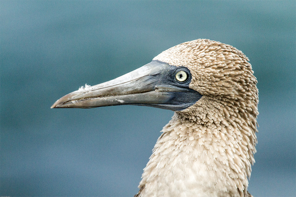 island-conservation-invasive-species-preventing-extinctions-galapagos-blue-footed-booby