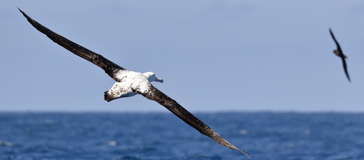 island-conservation-invasive-species-preventing-extinctions-marion-island-national-geographic-wandering-albatross-feat