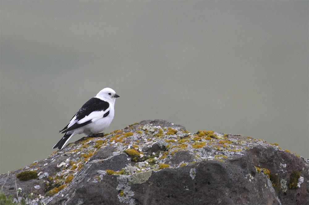 island-conservation-invasive-species-preventing-extinctions-st-paul-pribilof-islands-alaska-invasive-rat-snowy-bunting