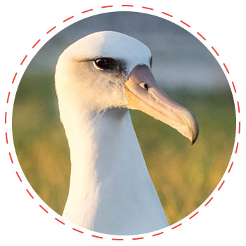 Papahānaumokuākea Marine National Monument. island conservation laysan albatross preventing extinctions midway atoll