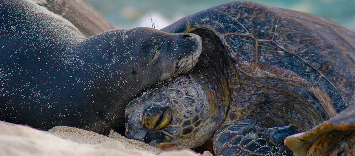 island-conservation-invasive-species-midway-atoll-hawaiian-monk-seal-green-sea-turtle-feat