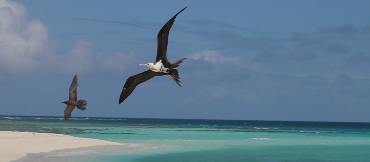 island-conservation-invasive-species-preventing-extinctions-chagos-archipelago-frigate-bird-feat
