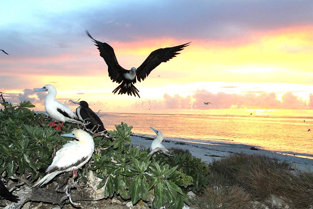 island-conservation-invasive-species-preventing-extinctions-chagos-archipelago-frigate-bird-landing