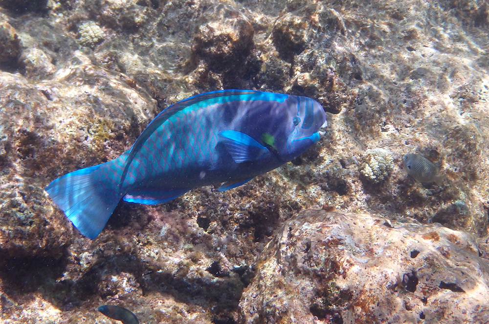 island-conservation-invasive-species-preventing-extinctions-midway-atoll-coral-reef-parrotfish