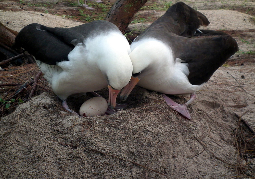 island-conservation-invasive-speices-preventing-extinctions-save-midway-laysan-albatross-parents-chick