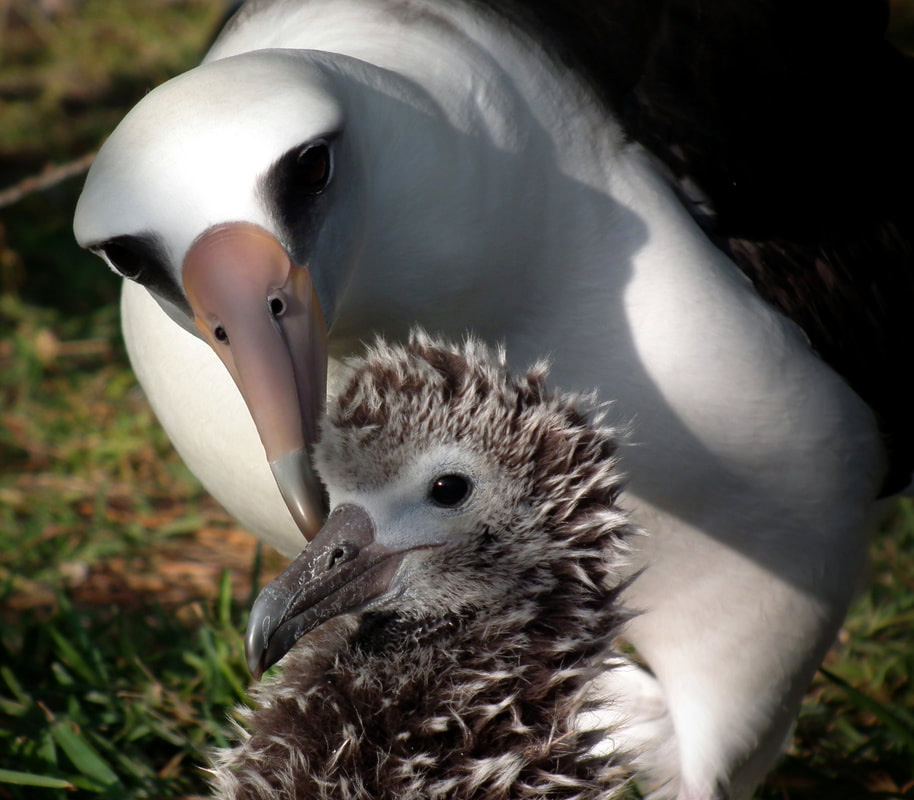 island-conservation-preventing-extinctions-midway-atoll-laysan-Albatross-adult-chick