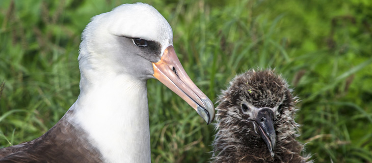 island-conservation-preventing-extinctions-midway-atoll-laysan-Albatross-chicks-adults-feat