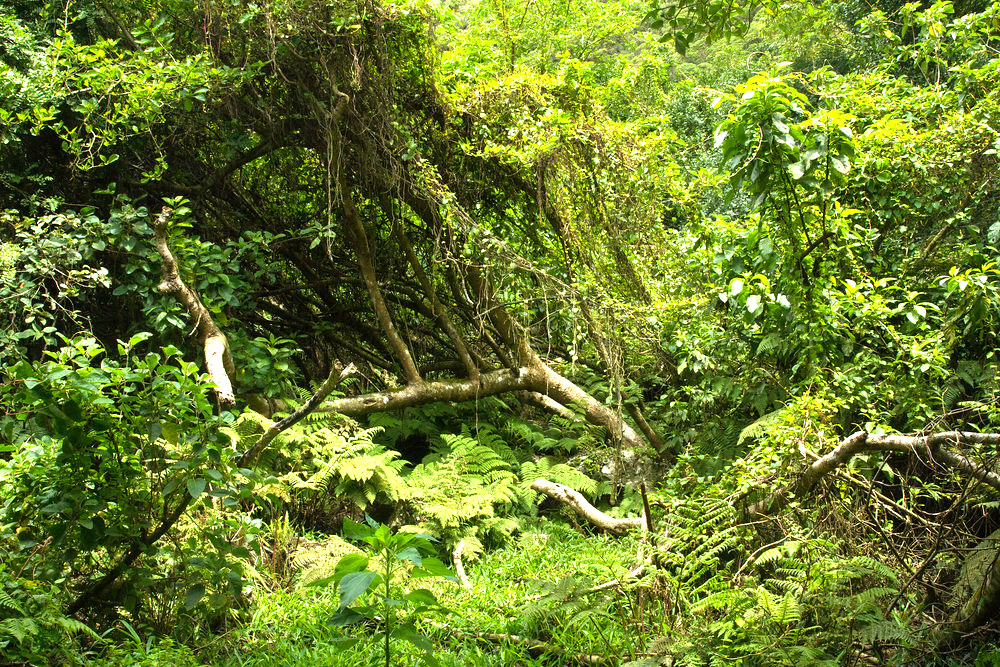 island-conservation-preventing-extinctions-floreana-forest