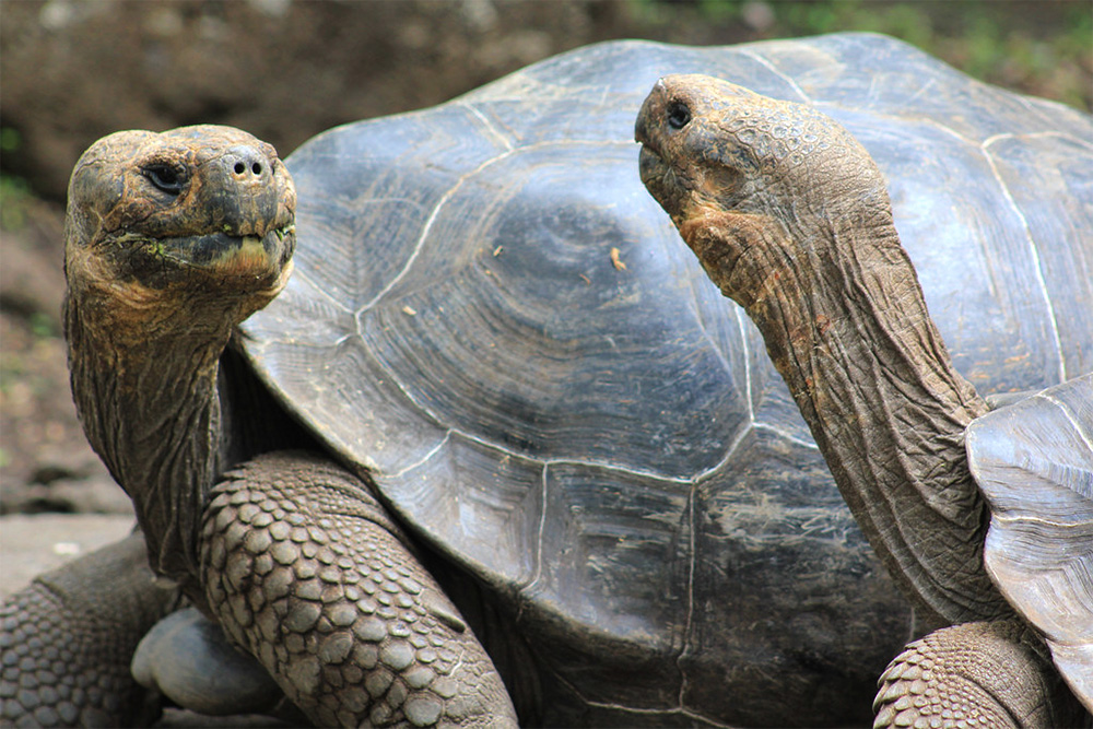 island-conservation-preventing-extinctions-two-Galápagos-tortoises
