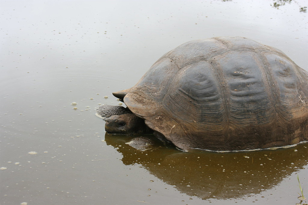 island-conservation-preventing-extinctions-tortoise-pool