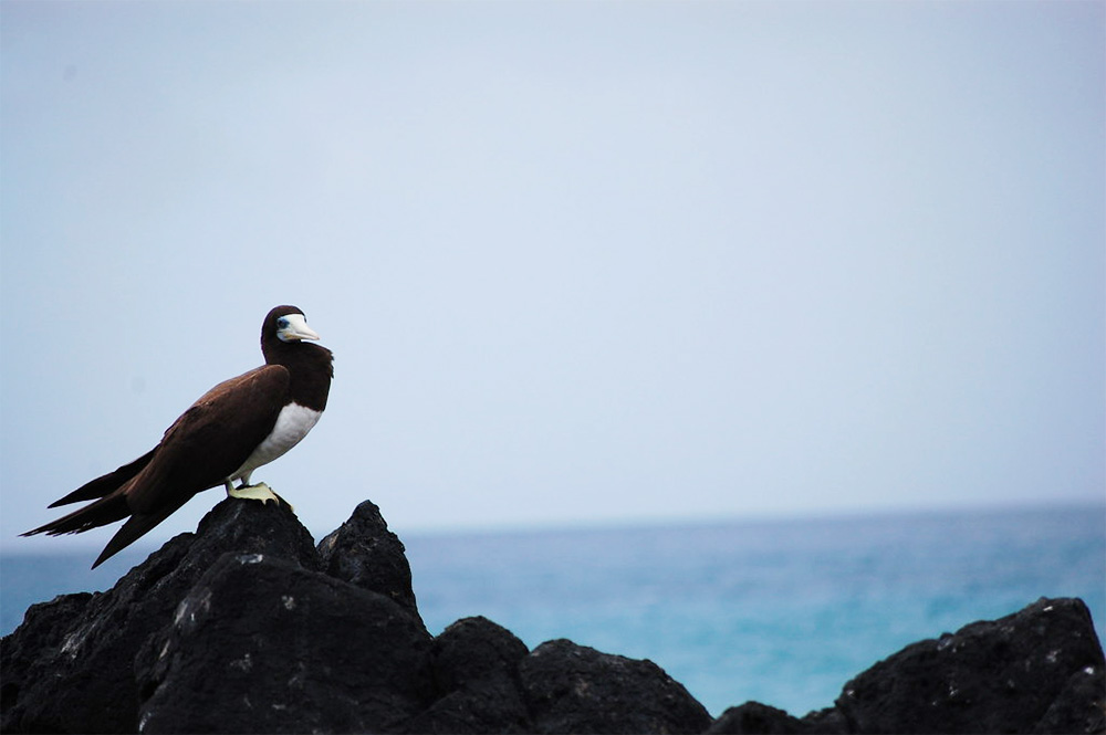 island-conservation-invasive-species-preventing-extinctions-fernando-de-noronha-sea-bird-on-rock