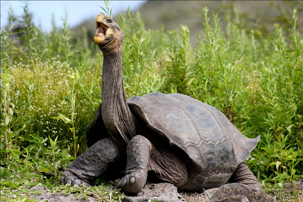 island-conservation-preventing-extinctions-galapagos-pinzon-tortoise