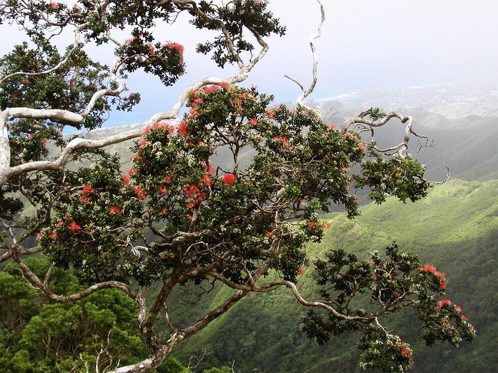island-conservation-preventing-extinctions-hawaii-ohia-tree-ridge