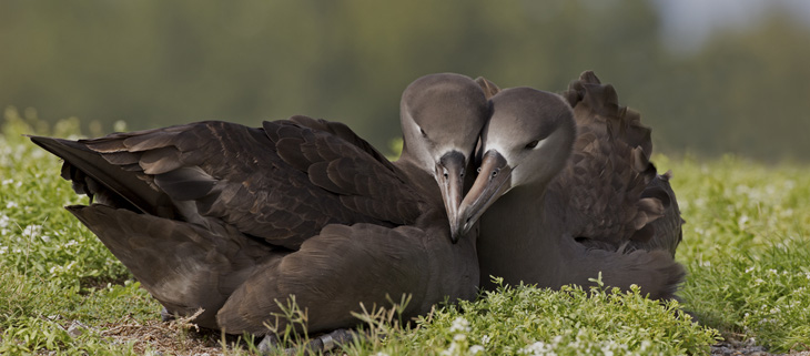 island-conservation-invasive-species-preventing-extinctions-midway-black-footed-albatross-pair-feat