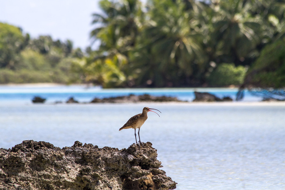island-conservation-invasive-species-preventing-extinctions-bristle-thighed-curlew-1