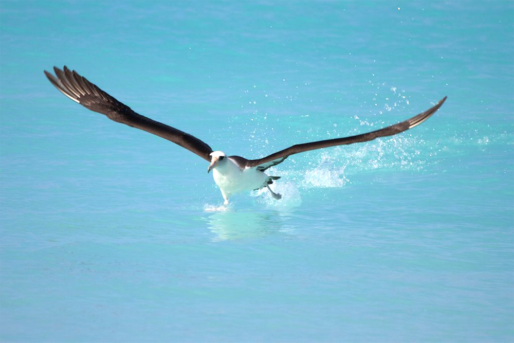 island-conservation-invasive-species-preventing-extinctions-midway-laysan-albatross-1