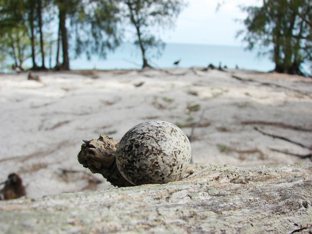 island-conservation-invasive-species-preventing-extinctions-midway-white-tern-egg