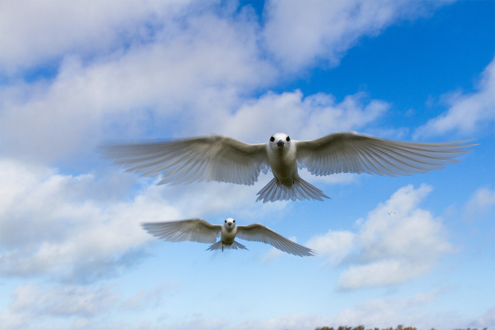 island-conservation-invasive-species-preventing-extinctions-midway-white-tern