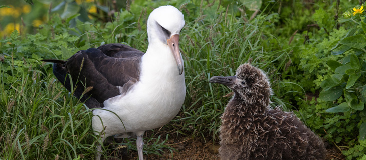 island-conservation-preventing-extinctions-invasive-species-laysan-albatross-adult-chick-feat