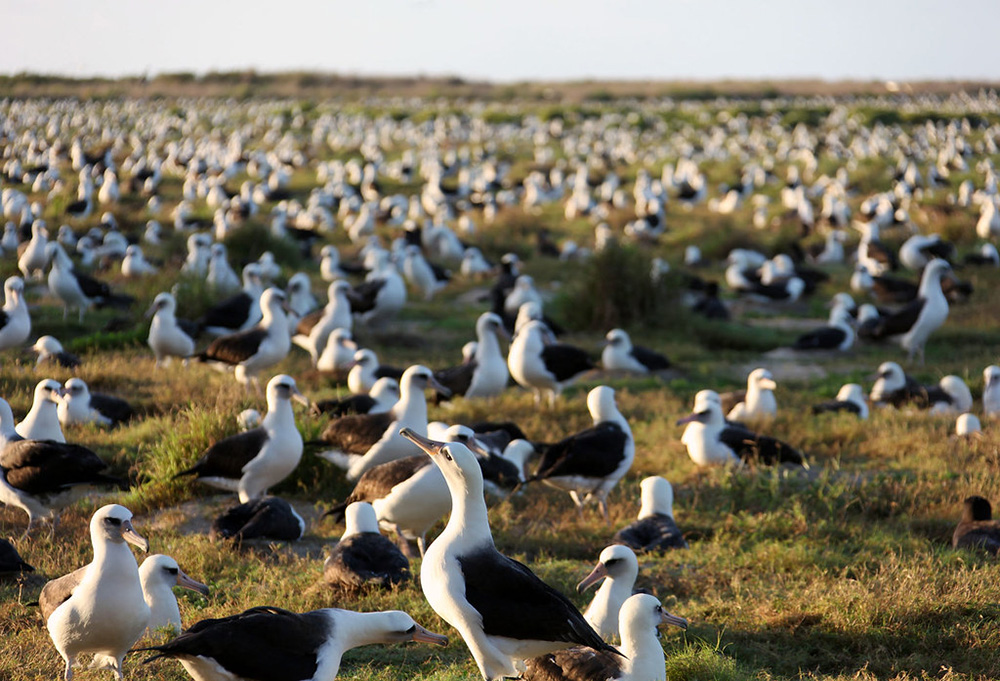 island-conservation-preventing-extinctions-invasive-species-laysan-albatross-colony-1
