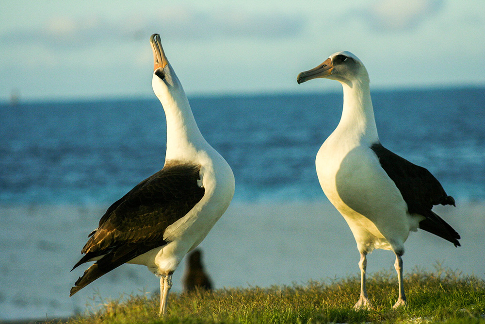 island-conservation-preventing-extinctions-invasive-species-laysan-albatross-mating-dance