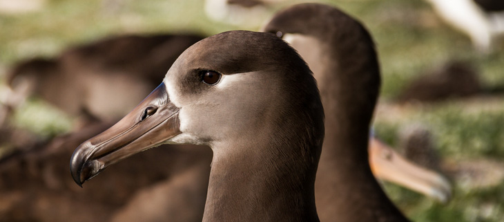 island-conservation-preventing-extinctions-midway-atoll-black-footed-albatross-return-feat