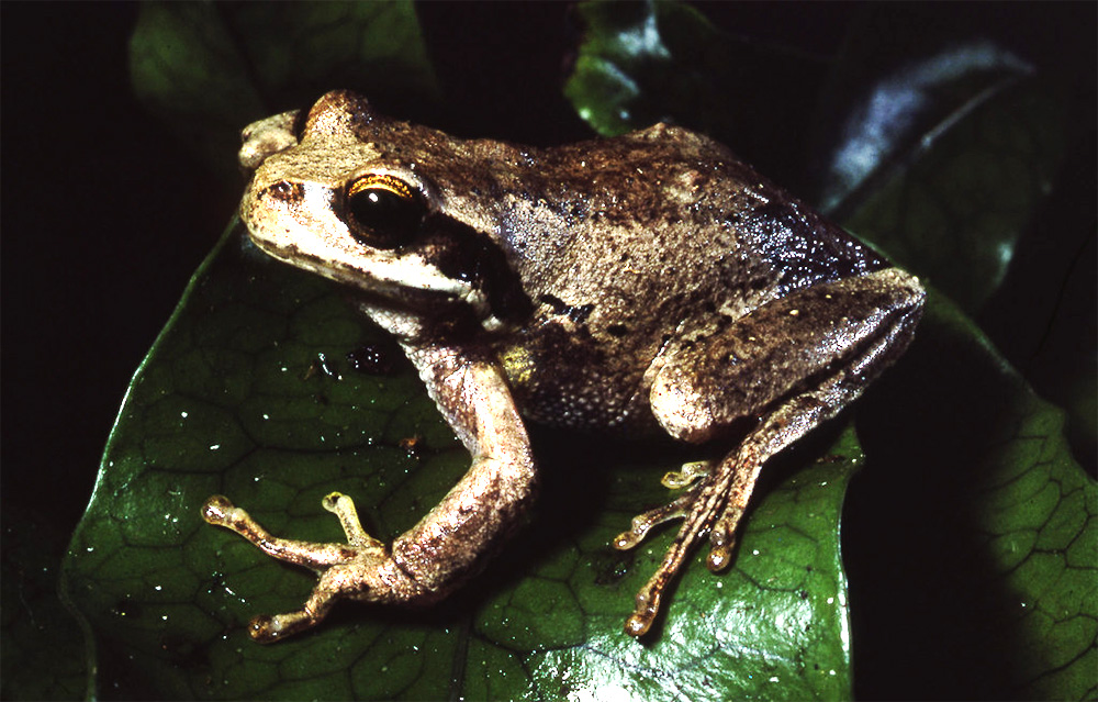 island-conservation-invasive-species-preventing-extinctions-conxtech-prize-australian-brown-tree-frog-chytrid-fungus
