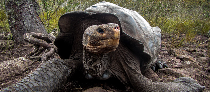 island-conservation-invasive-species-preventing-extinctions-galapagos-giant-tortoise-karl-radio-lab-feat