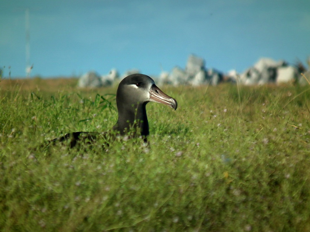 island-conservation-preventing-extinctions-midway-atoll-black-footed-albatross-2016-first-return
