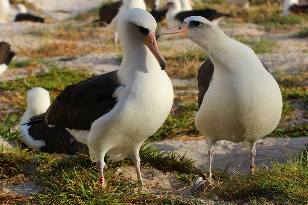 island-conservation-preventing-extinctions-midway-atoll-laysan-albatross-return-nest