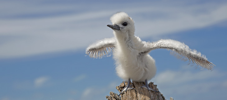 island-conservation-preventing-extinctions-midway-atoll-research-white-tern-chick-seabirds-feat