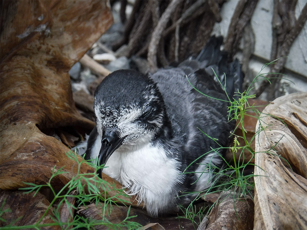 island-conservation-invasive-species-preventing-extinctions-midway-atoll-bonin-petrel-light-pollution