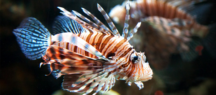 island-conservation-invasive-species-preventing-extinctins-invasive-lionfish-atlantic-threat-roomba-technology-feat