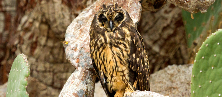 island-conservation-invasive-species-preventing-extinctions-floreana-galapagos-short-eared-owls-feat
