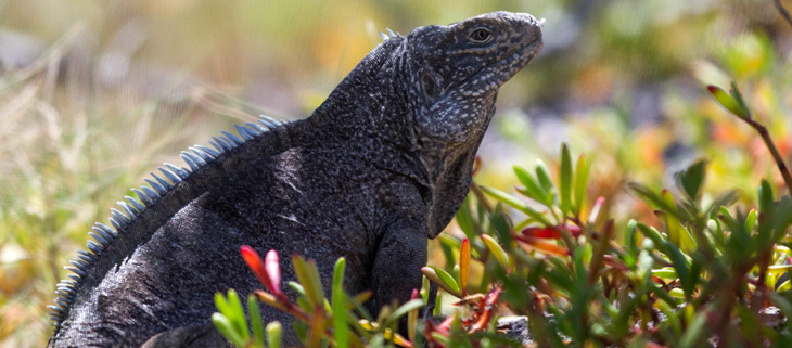 island-conservation-invasive-species-preventing-extinctions-iguana-what-is-biodiversity-feat