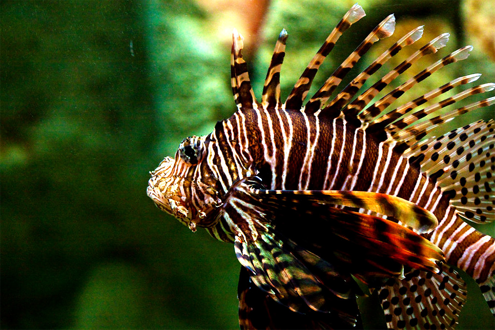 island-conservation-preventing-extinctions-invasive-lion-fish