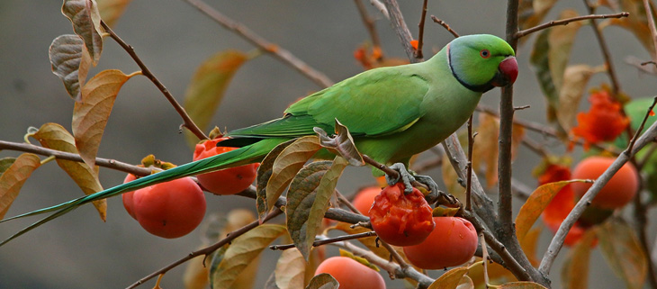island-conservation-invasive-species-preventing-extinctions-invasive-rose-ringed-parakeet-eat-fruit-feat