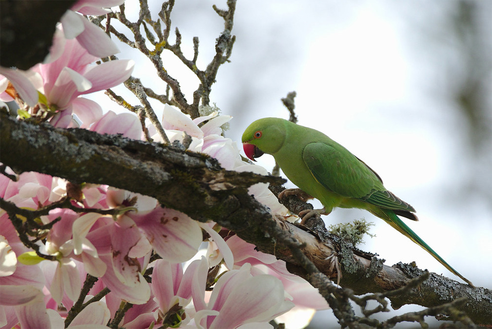 island-conservation-preventing-extinctions-rose-ringed-parakeet-sitting-on-magnolia