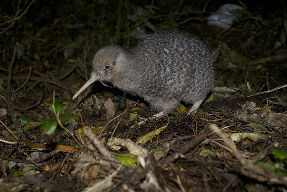 island-conservation-invasive-species-preventing-extinctions-new-zealand-little-spotted-kiwi1
