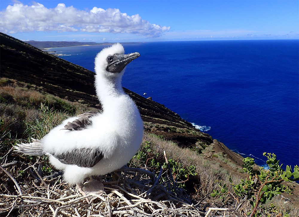 island-conservation-invasive-species-preventing-extinctions-seabird-red-footed-booby