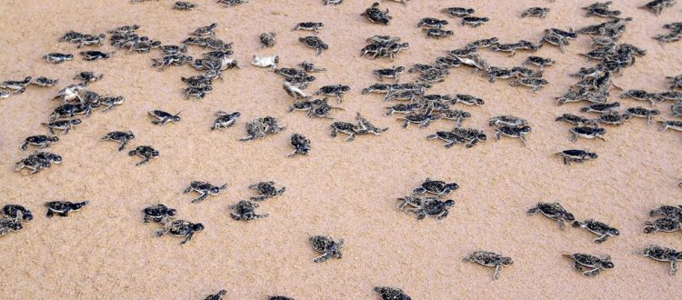 island-conservation-invasive-speices-preventing-extinctions-sea-turtle-sex-ratio-skew-hatchlings-beach-fb
