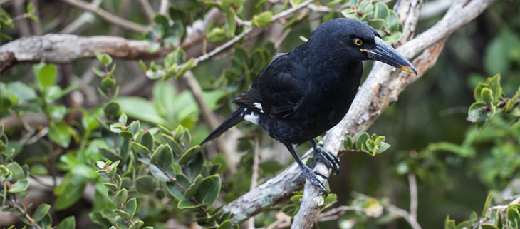 island-conservation-preventing-extinctions-invasive-species-lord-howe-island-currawong-bird-feat