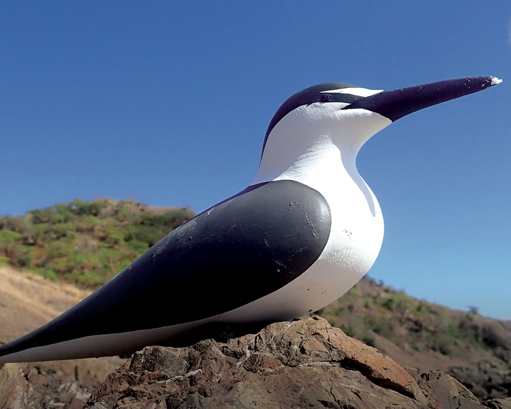 island-conservation-invasive-species-preventing-extinctions-bridled-tern-decoy-deseceho