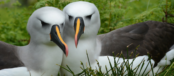 island-conservation-invasive-species-preventing-extinctions-gough-island-yellow-nosed-albatross-invasive-mice-attack-feat