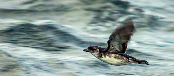 island-conservation-invasive-species-preventing-extinctions-peruvian-diving-petrel-feat