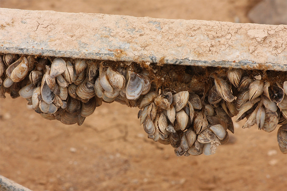 island-conservation-invasive-species-preventing-extinctions-us-national-park-system-invasive-quagga-mussels