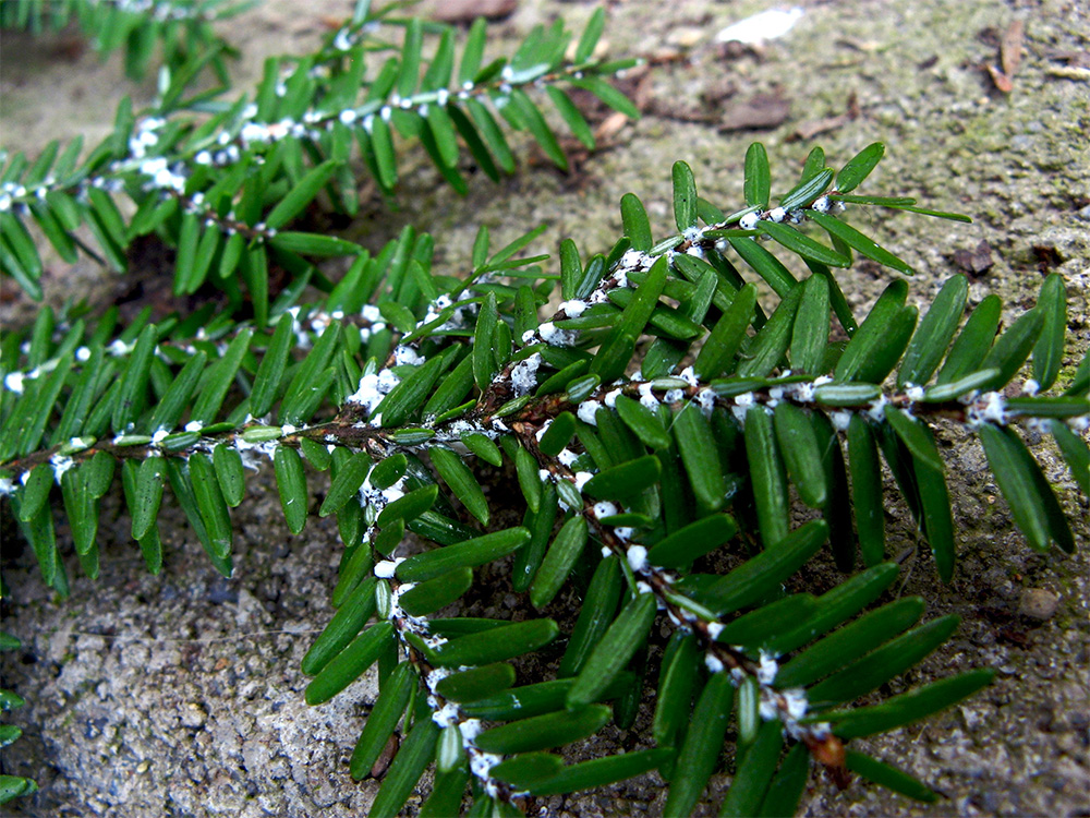 island-conservation-invasive-species-preventing-extinctions-us-national-park-system-invasive-wooly-adelgid-hemlock